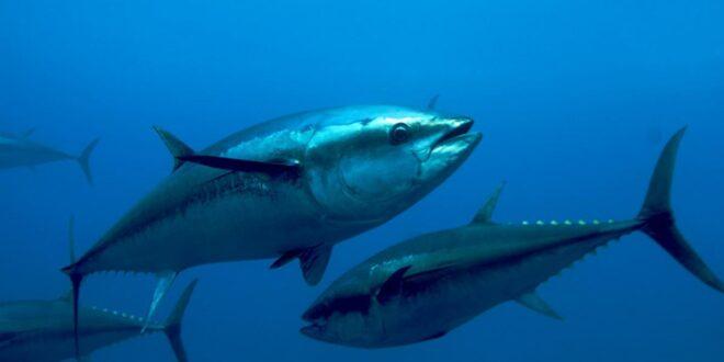 Pesca tonno – riorganizzare il comparto su base regionale